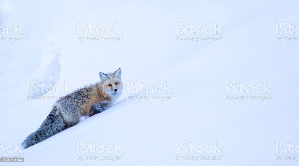 frostigen Fuchs steigt Hügel im Tiefschnee – Foto