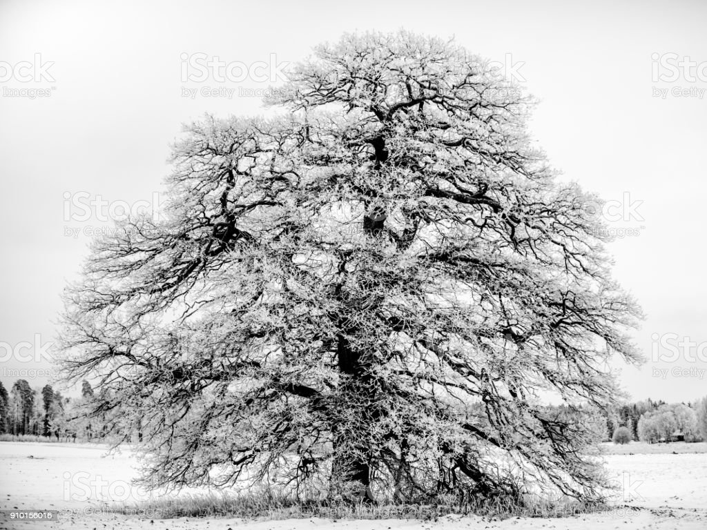 Frosty Grand Old Oak B/W stock photo