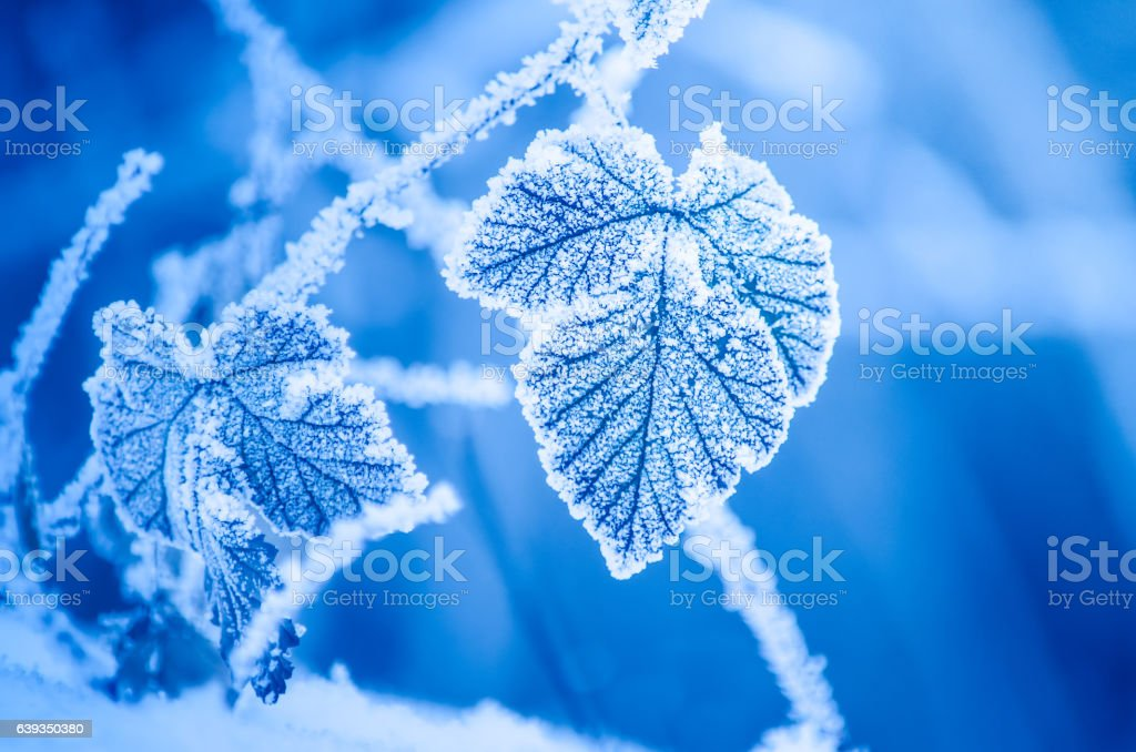 Frosty leaves in winter stock photo