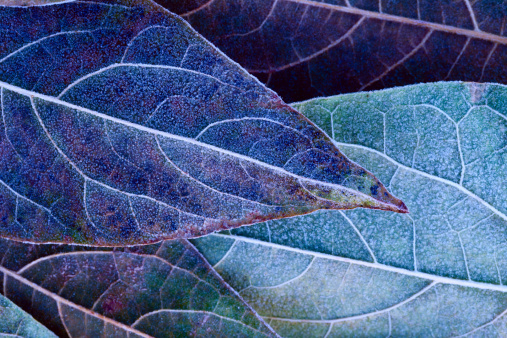 Close-up of frosty leaves