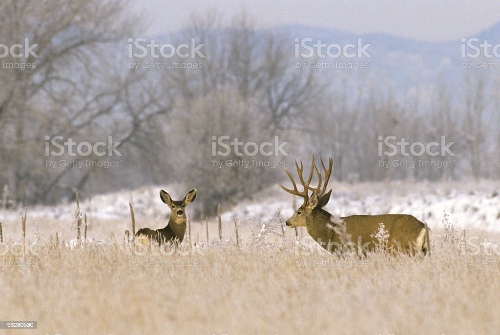 Frosty Morning Mule Deer Rut stock photo