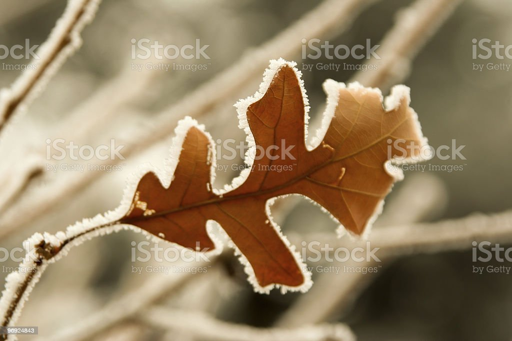 Frosty oak leaf royalty-free stock photo