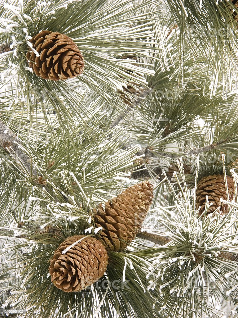 Frosty Pine Cones royalty-free stock photo