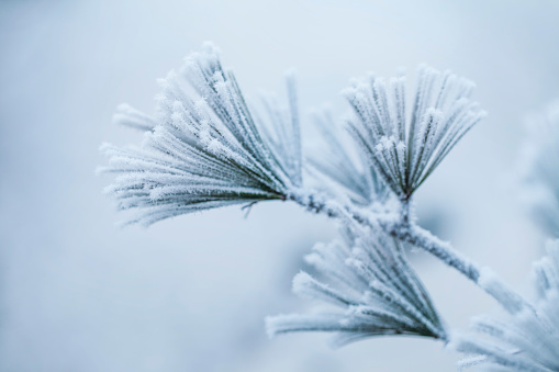Close-up of frosty pine leaves