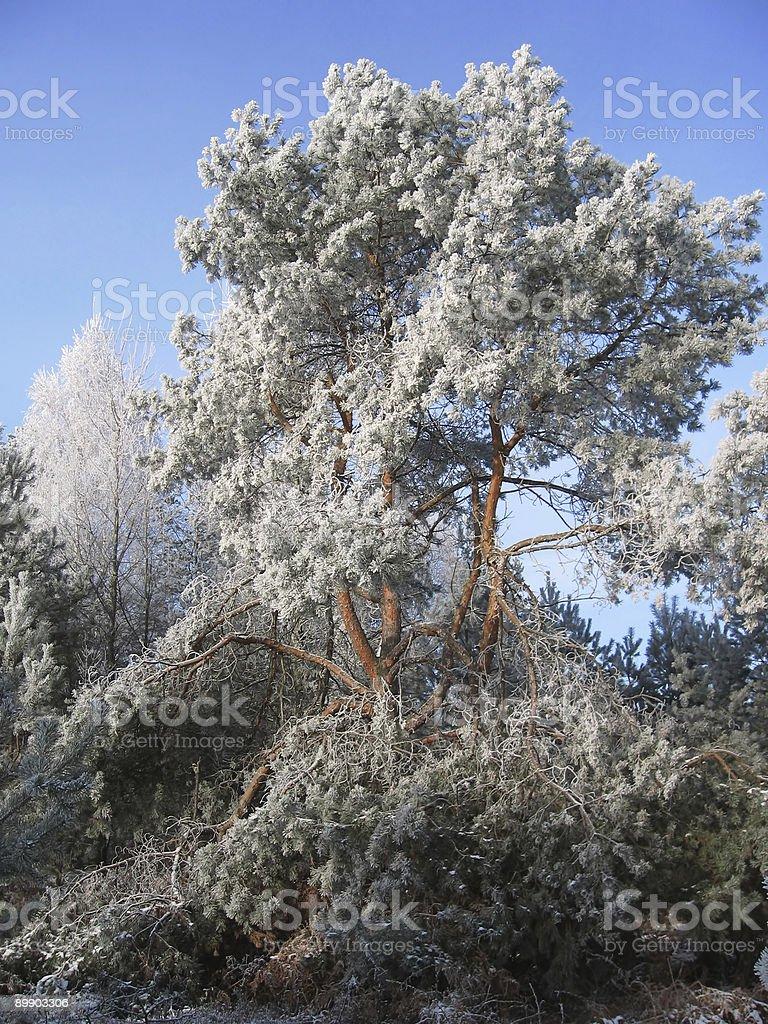 frosty pine tree royalty-free stock photo
