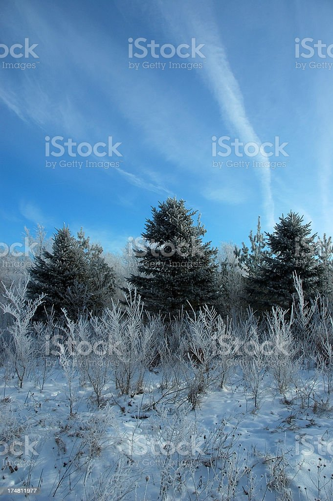 Frosty Pines stock photo