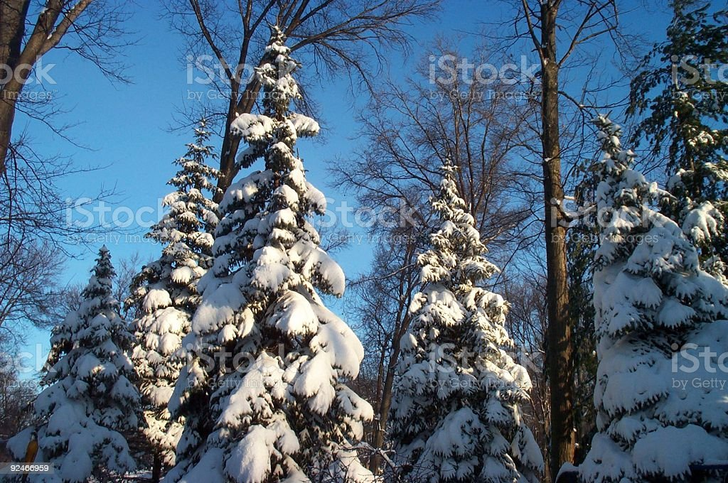 Frosty Pines royalty-free stock photo