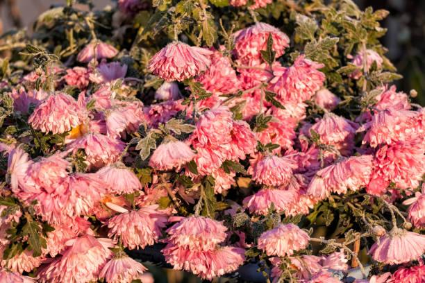 Frosty pink chrysanthemums (Chrysanthemum morifolium) stock photo