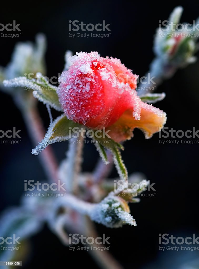 Frosty pink rose bud with winter morning light royalty-free stock photo