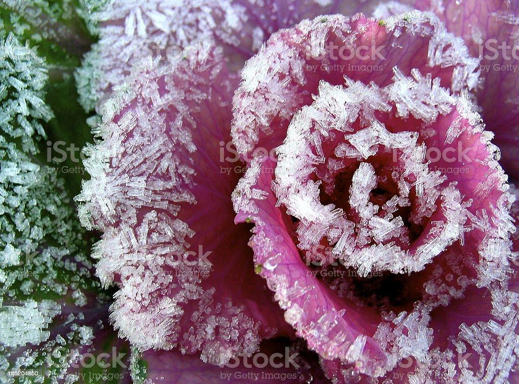 Frosty plant royalty-free stock photo