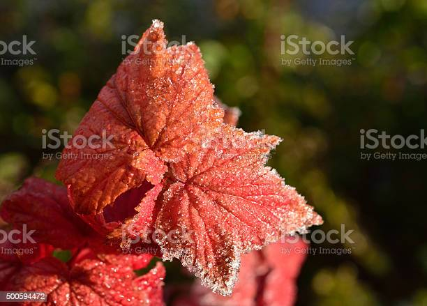 Photo of Frosty Red Leaf
