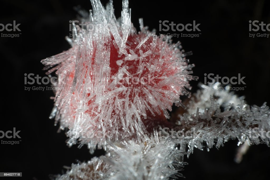 Frosty rose hip at winter stock photo