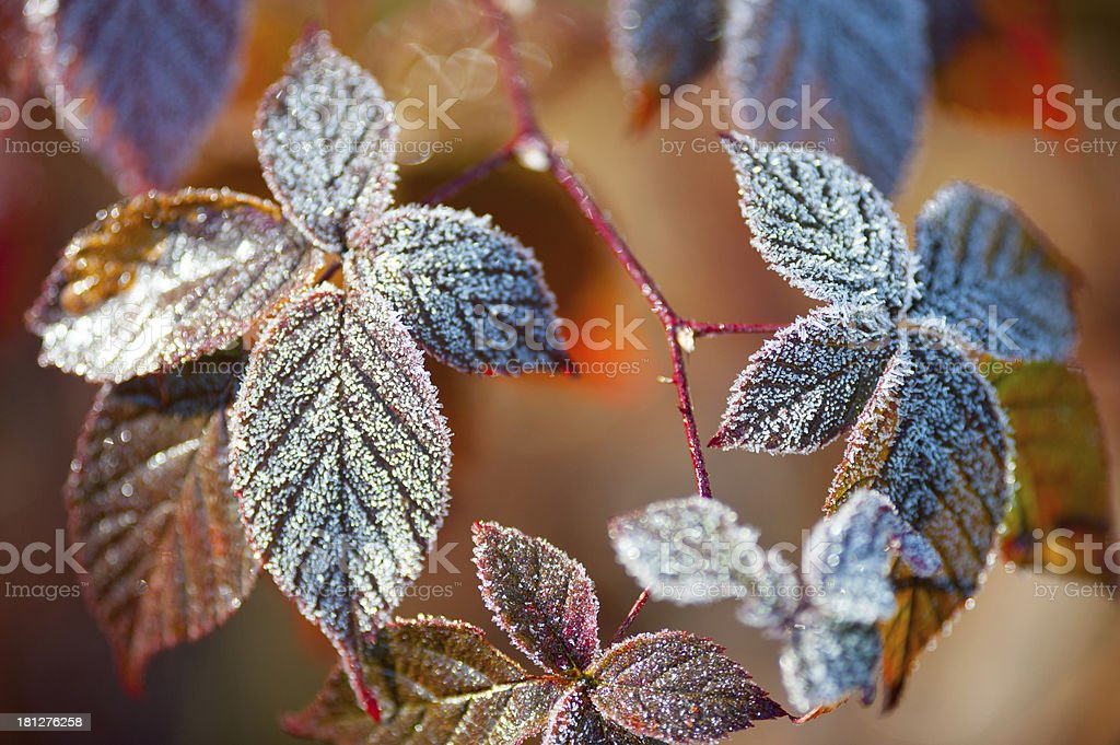Frosty Rose Leaves royalty-free stock photo