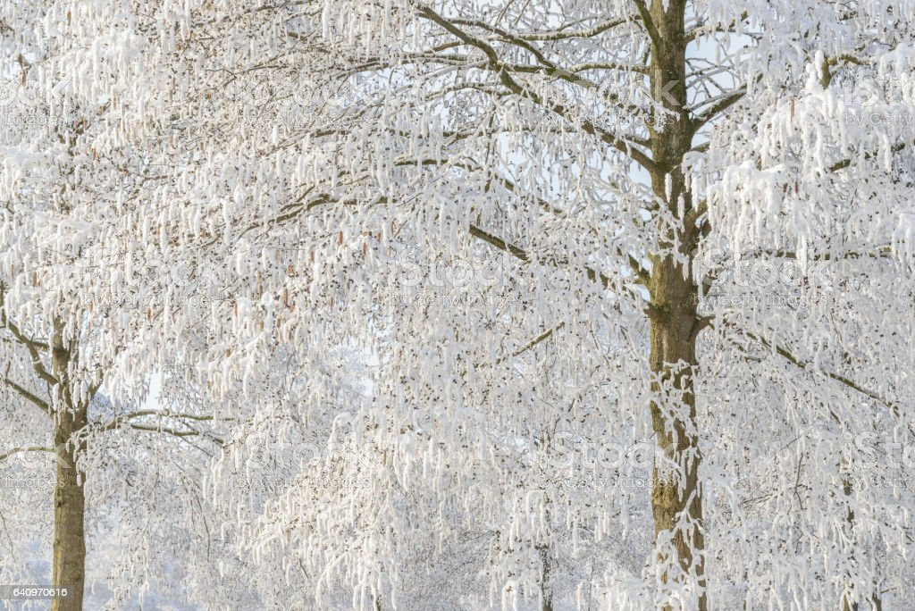 Frosty snowy winter trees during a cold winter day stock photo