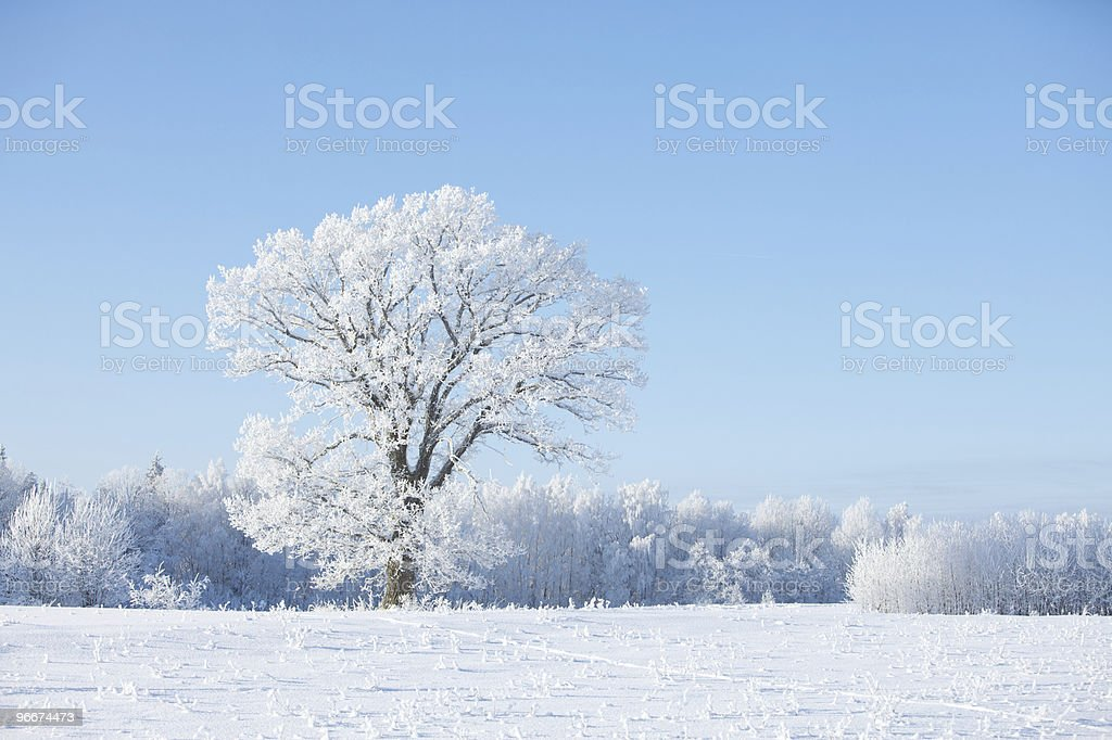 Frosty tree and white bushes royalty-free stock photo