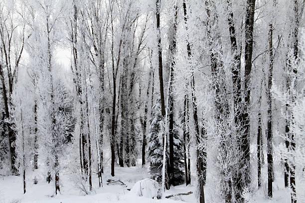 Frosty Trees I stock photo