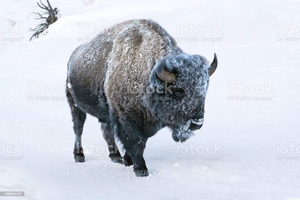 Frosty the Yellowstone bison Textfreiraum – Foto