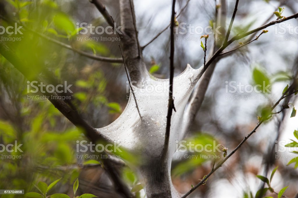 frothy foam like substance connected to tree branches. stock photo