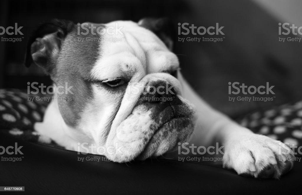 Frowning grumpy bulldog, couch potato stock photo
