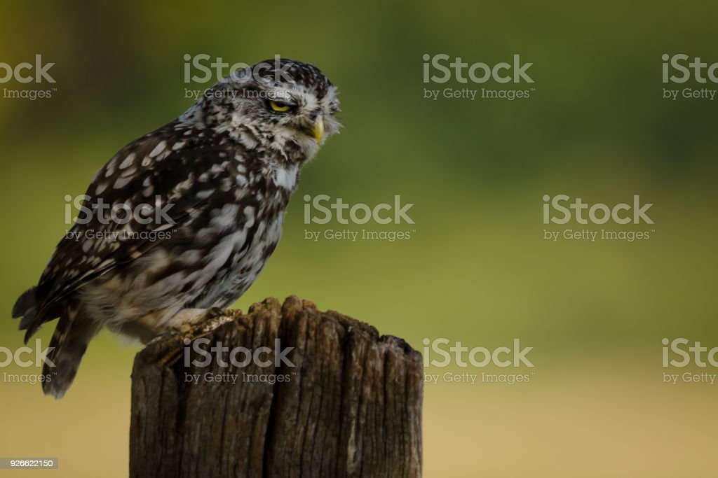 Frowning wild Little Owl stock photo