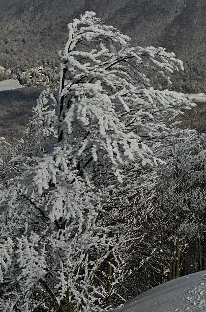Congelados y árboles nival - foto de stock