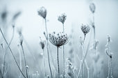 Frozen Anne's Lace wildflowers