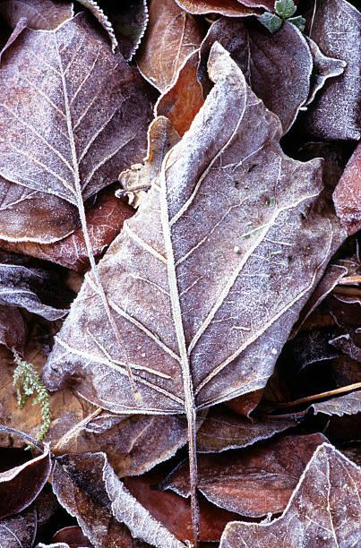 Frozen autumn leaves 2 stock photo