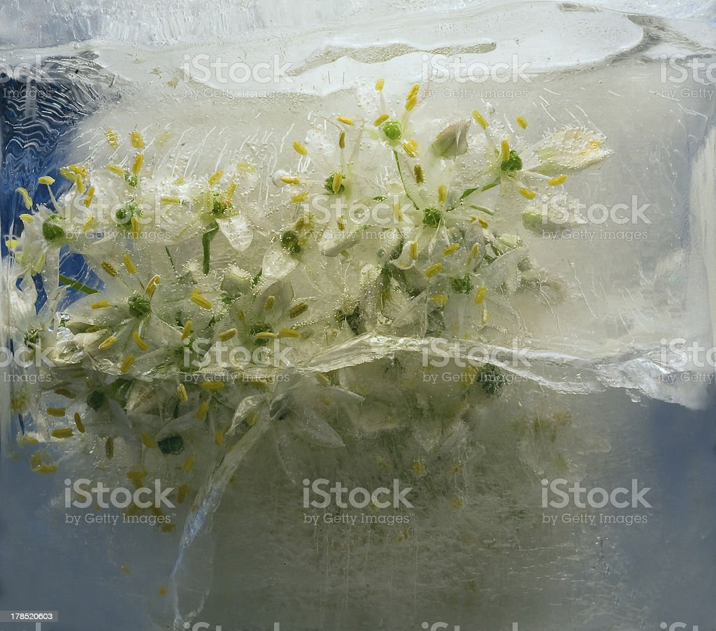 Frozen beautiful   flower of allium royalty-free stock photo