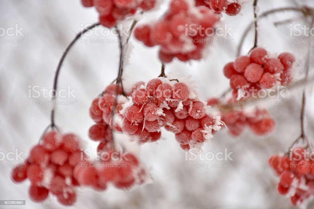 frozen beerys of the snowball tree in winter stock photo