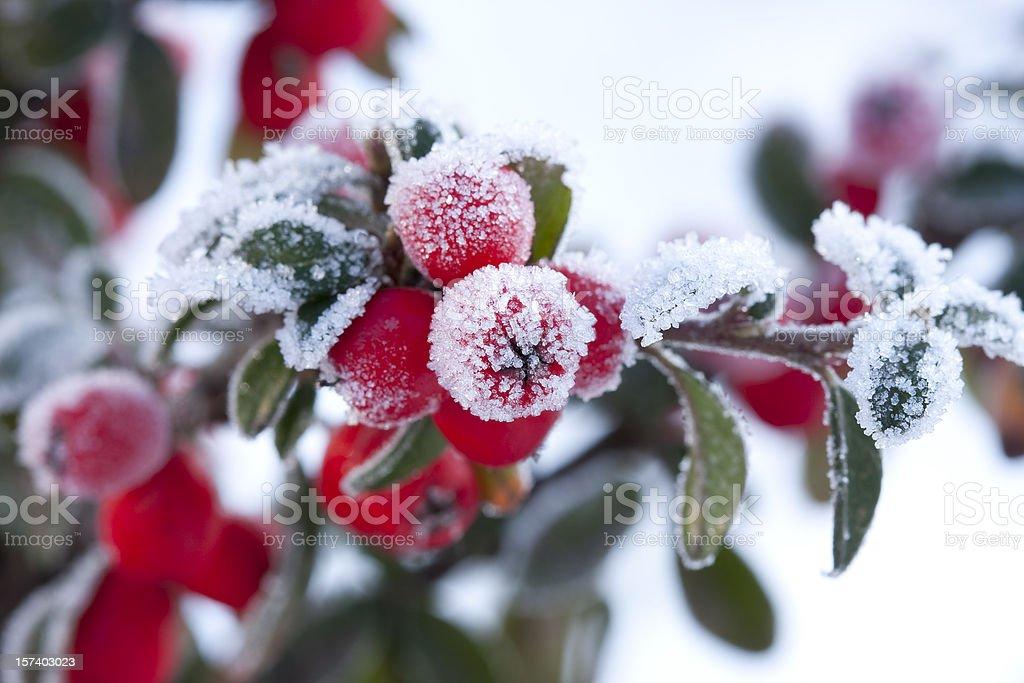 frozen berberis royalty-free stock photo