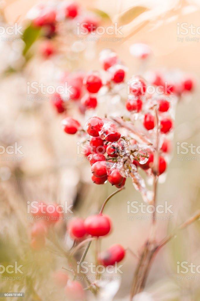 Frozen Berries in Hilton Head, South Carolina stock photo