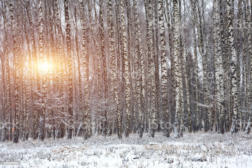 Frozen birch forest landscape. stock photo
