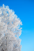 Frozen birch tree on blue winter sky in sunny winter day. Branches covered with snow Nature winter landscape