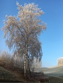 Birch tree with frozen branches