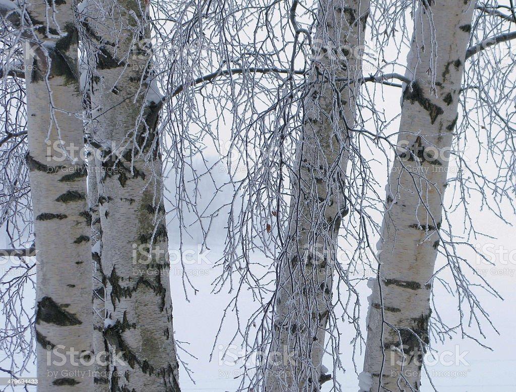 Frozen birches in winter stock photo