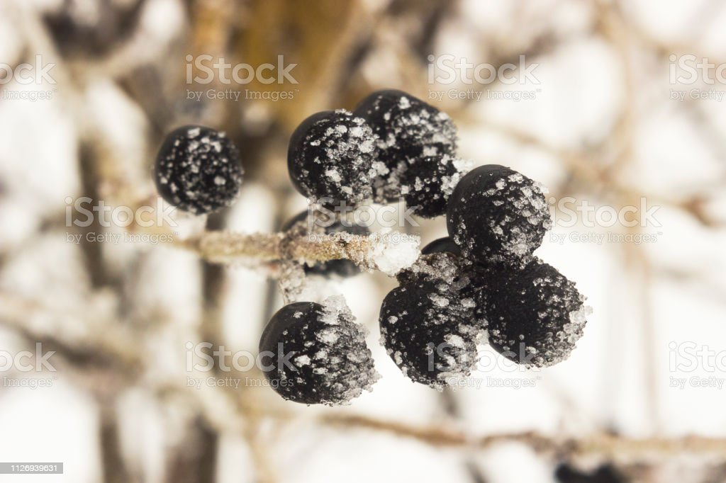 Frozen black berries in the winter on a branch. Blueberries in the ice on a bush. Winter background