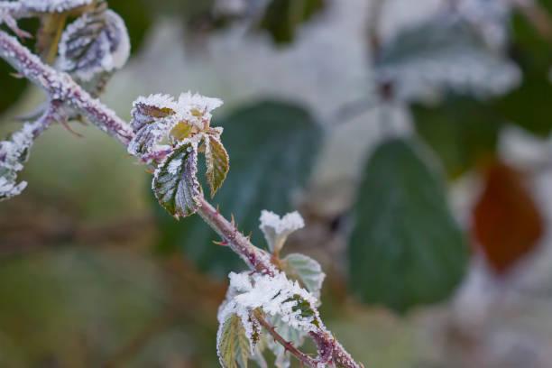 Hojas de zarzamora congelada. - foto de stock