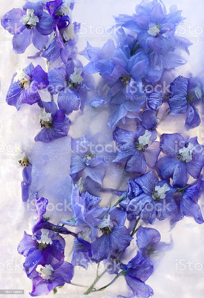 Frozen    blue delphinium flower royalty-free stock photo