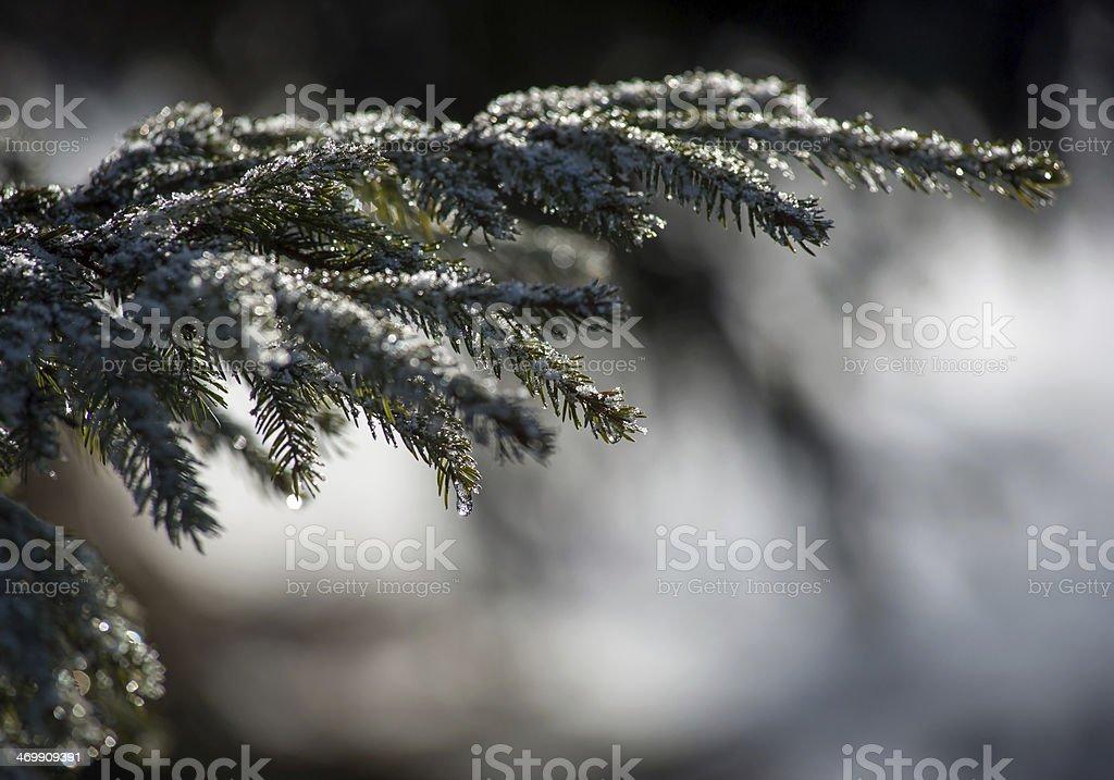 Frozen branch of pine tree stock photo