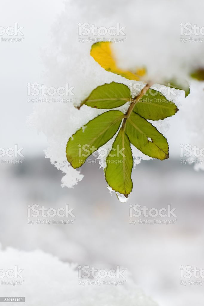 frozen brier on white snow on a winter morning stock photo