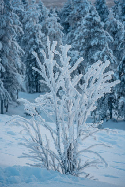 Frozen bush tree in winter with snow stock photo