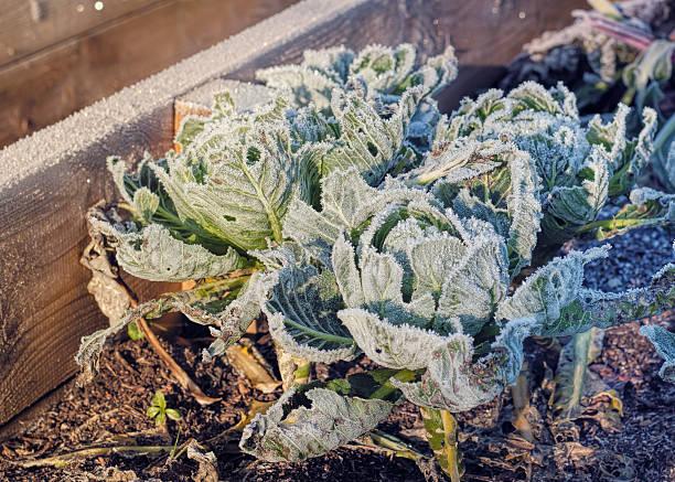 Frozen Cabbages Vegetable Garden Winter. Raised Beds Cold Sunlight stock photo