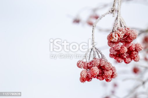 istock Frozen cranberries. Climate and polution in nature concept. Background with copy space. 1127790528