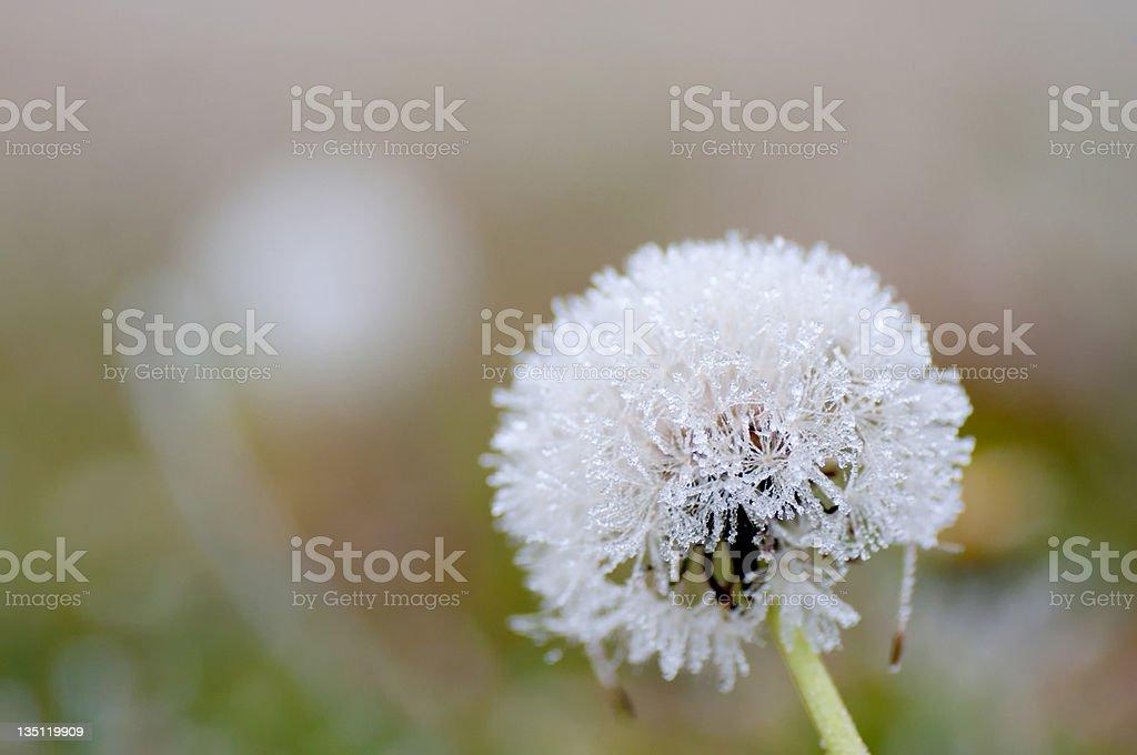 Frozen dandelion royalty-free stock photo