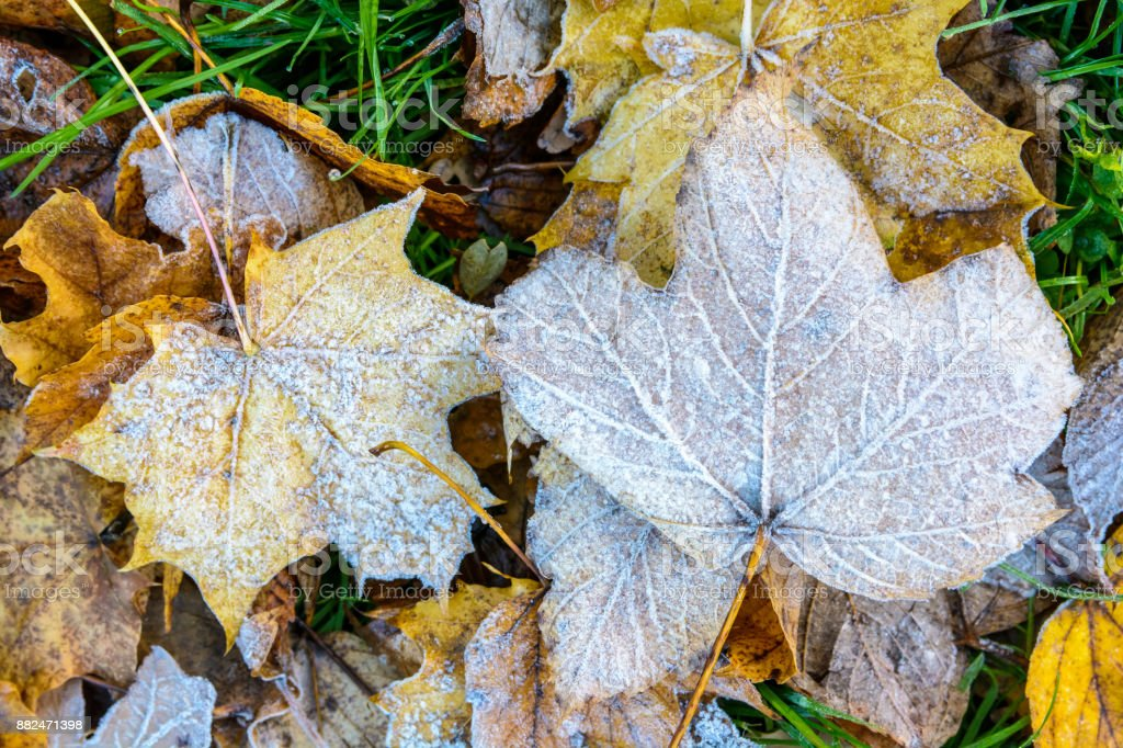 Close-up view of maple dead leaves covered with frost lying on the grass stock photo