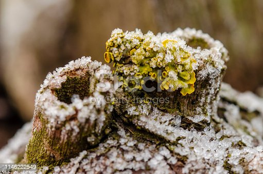 Closeup of frozen dew on an old grapevine. Frozen old wood or tree trunk with a yellow lichen and a volcanic funnel