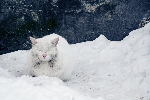 frozen dirty white cat sitting in the snow on the background of the shabby blue wall