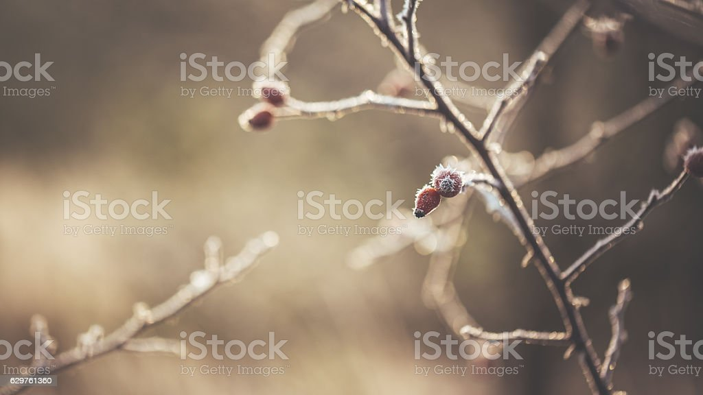 Frozen Dog rose on a cold dark winter day stock photo