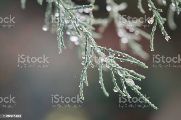 Photo of Frozen drops of water on a pine tree branch. Winter natural background. christmas tree. christmas background with copy space. rain drops on branch. cold background