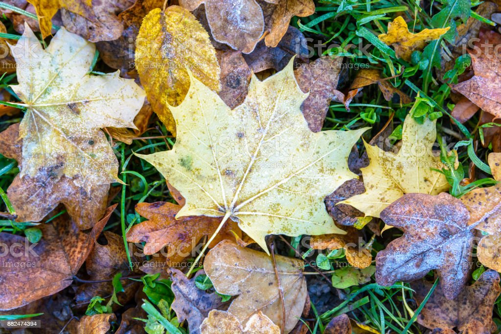 Close-up view of a maple dead leaf lying on the grass among other varieties of dry leaves covered with frost stock photo